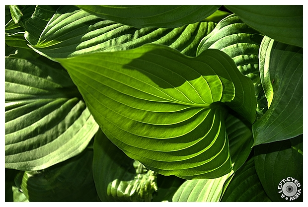 "hosta, Sabourin, ""A Left-Eyed View"""