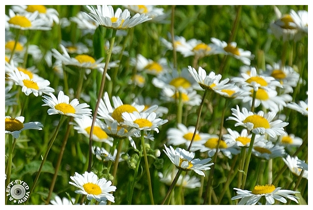 """daisies, Sabourin, """"A Left-Eyed View"""""""