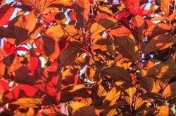 Newport Purple Leaf Foliage