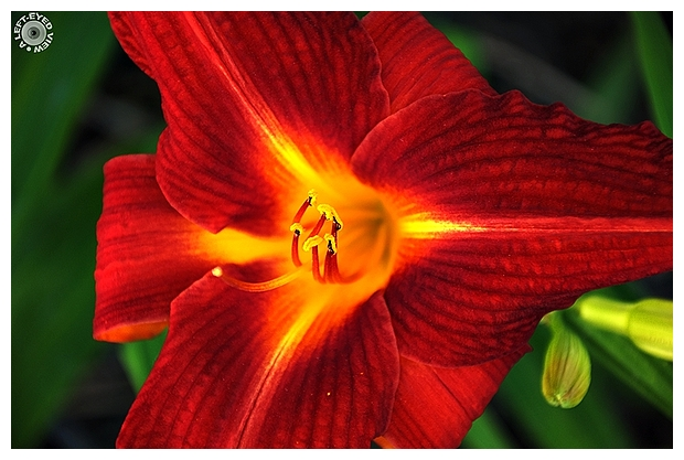 "daylily, Sabourin, ""A Left-Eyed View"""