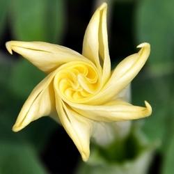 Devil's Trumpet Flower, Sabourin