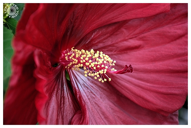 "hibiscus, Sabourin, ""A Left-Eyed View"""