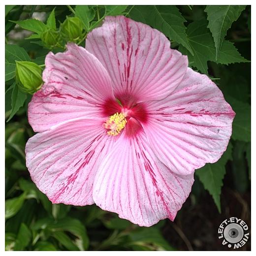 Peppermint Schnapps Hibiscus