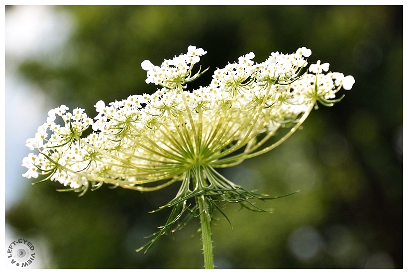 """Queen Anne's Lace, """"A Left-Eyed View"""""""