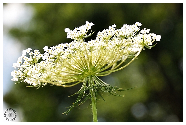 "Queen Anne's Lace, ""A Left-Eyed View"""