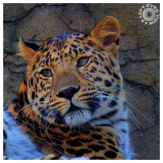 """Leopard, """"Brrokfield Zoo"""", """"A Left-Eyed View"""""""