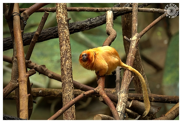 "Golden Lion Tamarin, ""A Left-Eyed View"""