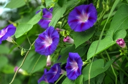 "Morning glory, ""A Left-Eyed View"""