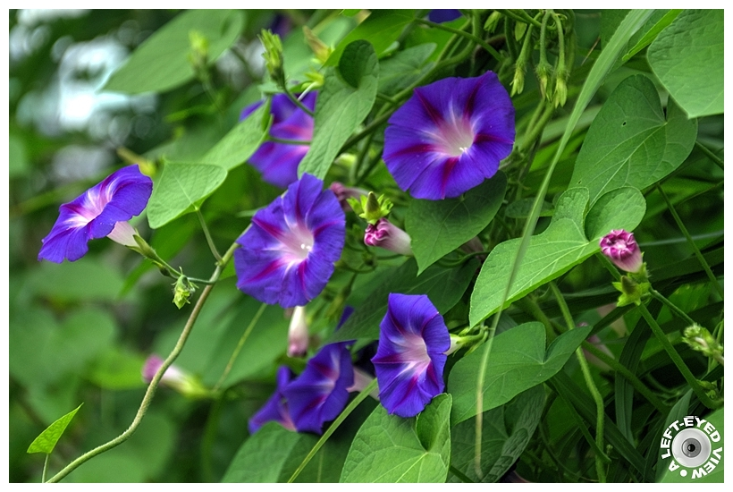 """Morning glory, """"A Left-Eyed View"""""""