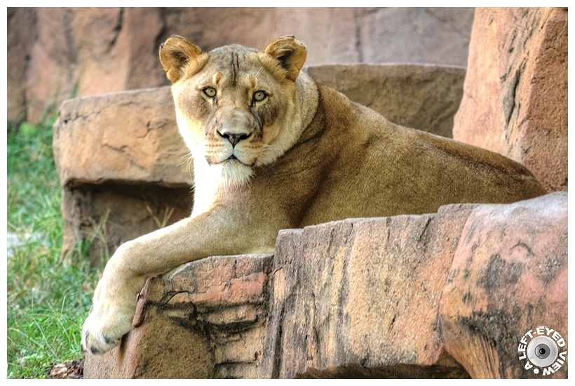 """Lioness, """"A Left-Eyed View"""""""