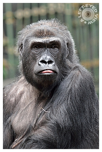 "Silverback, gorilla, ""A Left-Eyed View"""