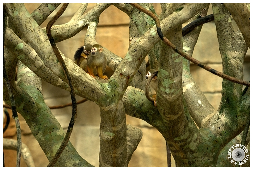 "Squirrel Monkey, ""A Left-Eyed View"""
