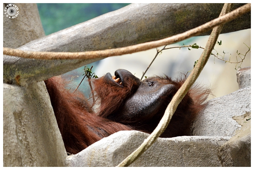 "Orangutan, ""A Left-Eyed View"""