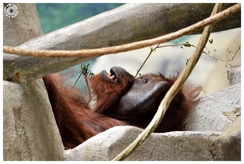 "Orangutan, ""A Left-Eyed View"""