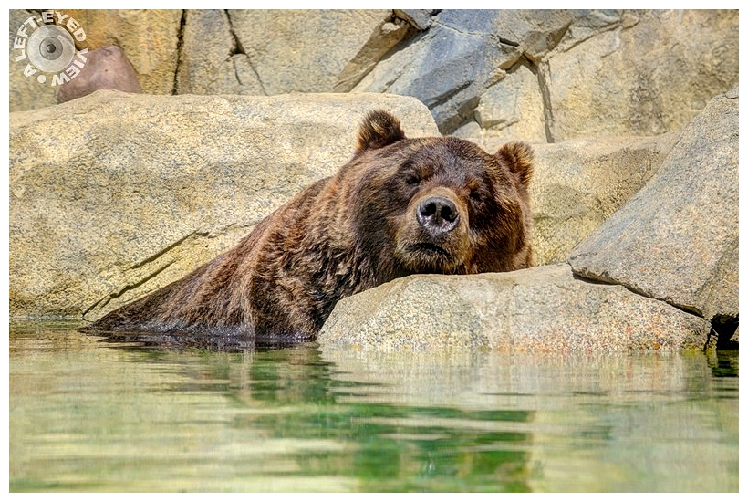 """Grizzly Bear, """"A Left-Eyed View"""""""