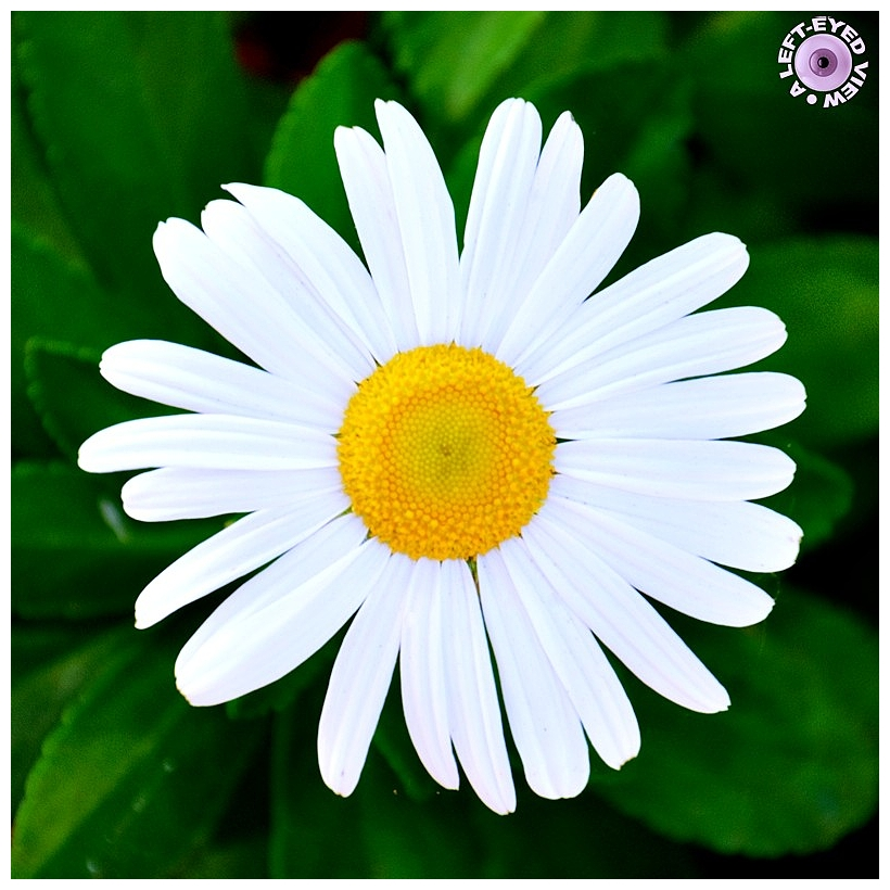 """Daisy, """"A Left-Eyed View"""""""