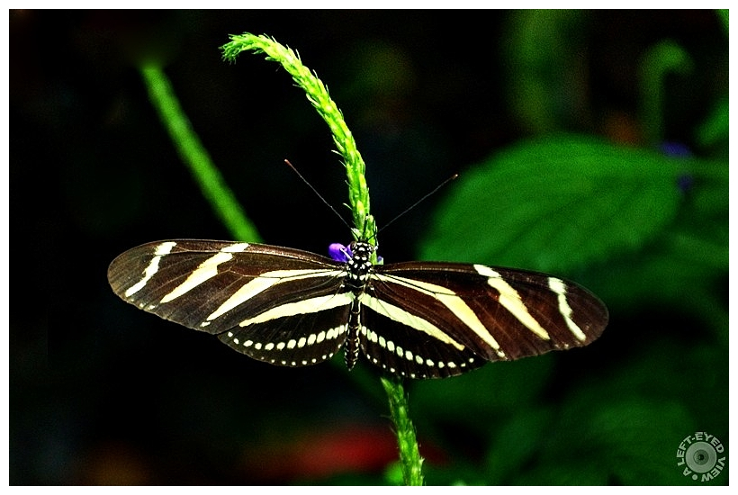 "Zebra Longwing Butterfly, ""A Left-Eyed View"""