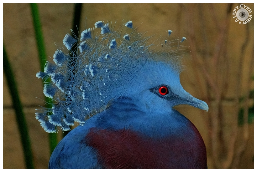 """Victoria Crowned Pigeon"", ""A Left-Eyed View"""