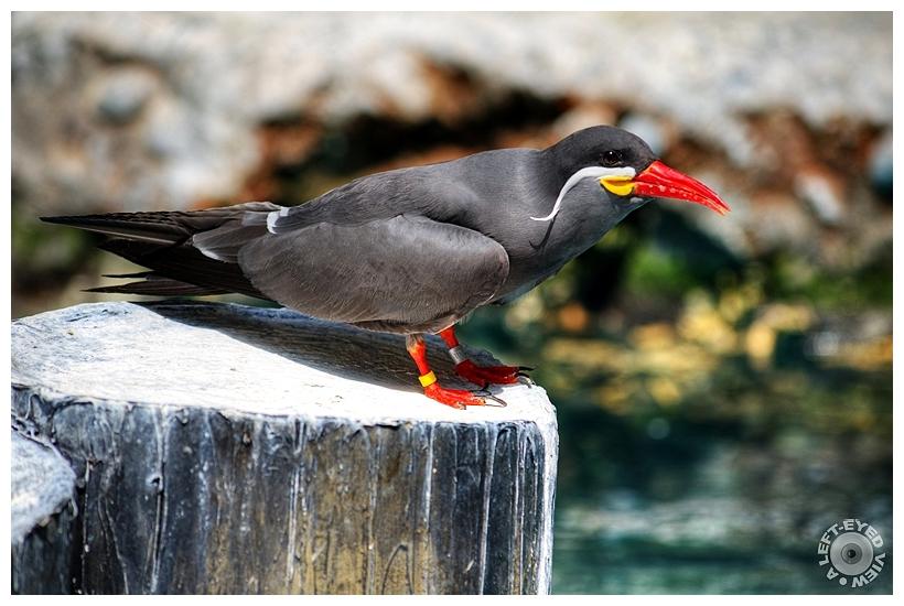 """Inca Tern"", ""A Left-Eyed View"", Sabourin"