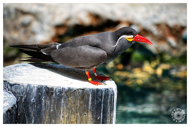 """Inca Tern"", ""A Left-Eyed View"", Sabourin"