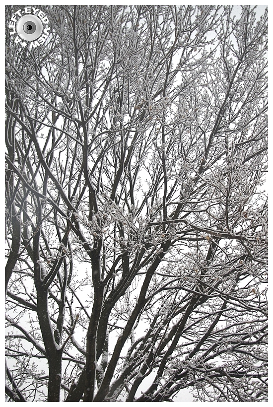 Snow Covered Maple Tree
