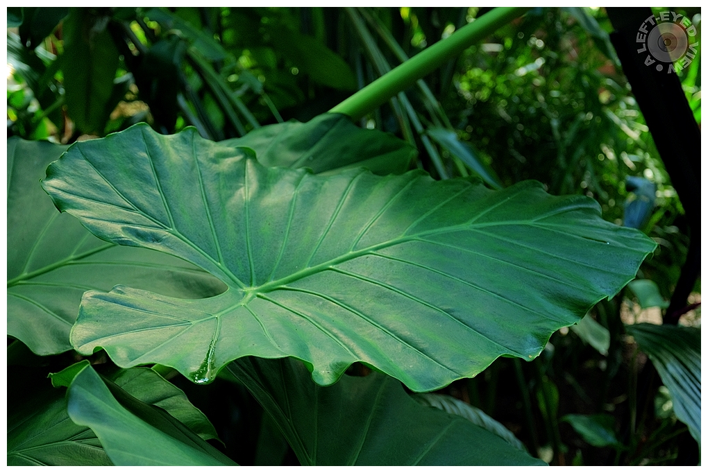 """Colocasia, """"A Left-Eyed View"""""""