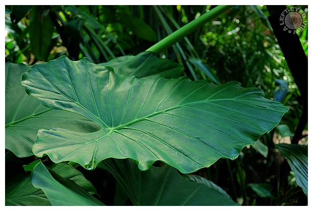 "Colocasia, ""A Left-Eyed View"""
