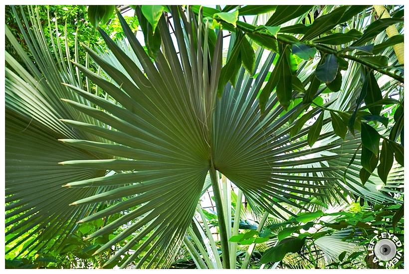 """Bismarck Palm"", ""A Left-Eyed View"", Sabourin"