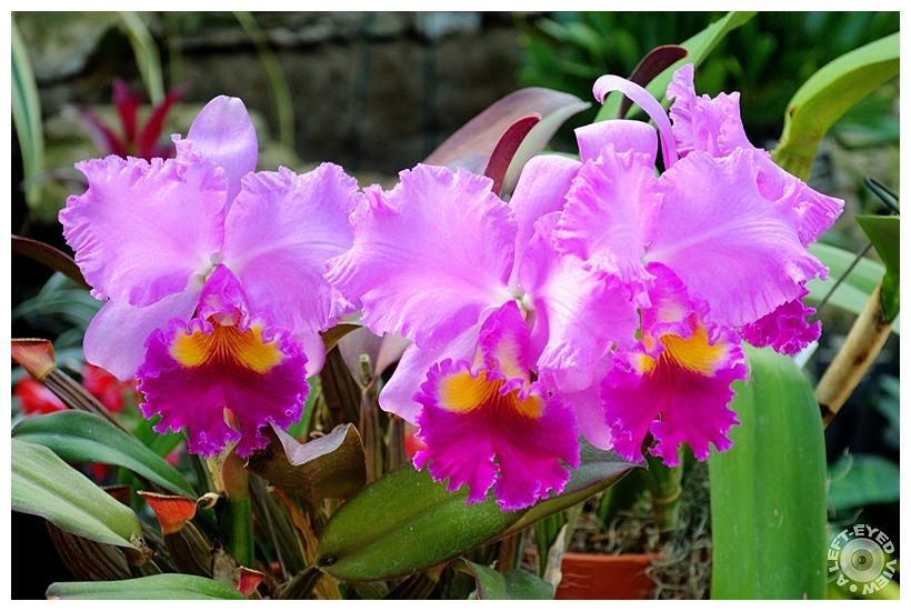 "Cattleya Orchid, Sabourin, ""A Left-Eyed View"""