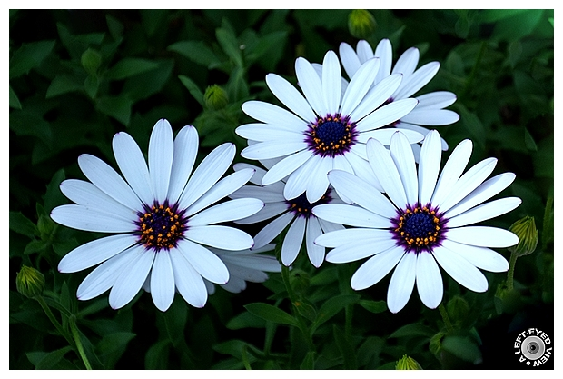 """Cape Daisy"", ""A Left-Eyed View"""