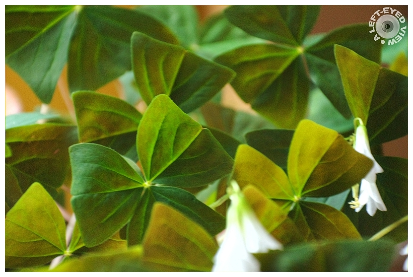 """Shamrock Plant, """"A Left-Eyed View"""", Sabourin"""