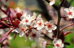 Newport Purple Leaf Plum Blossoms