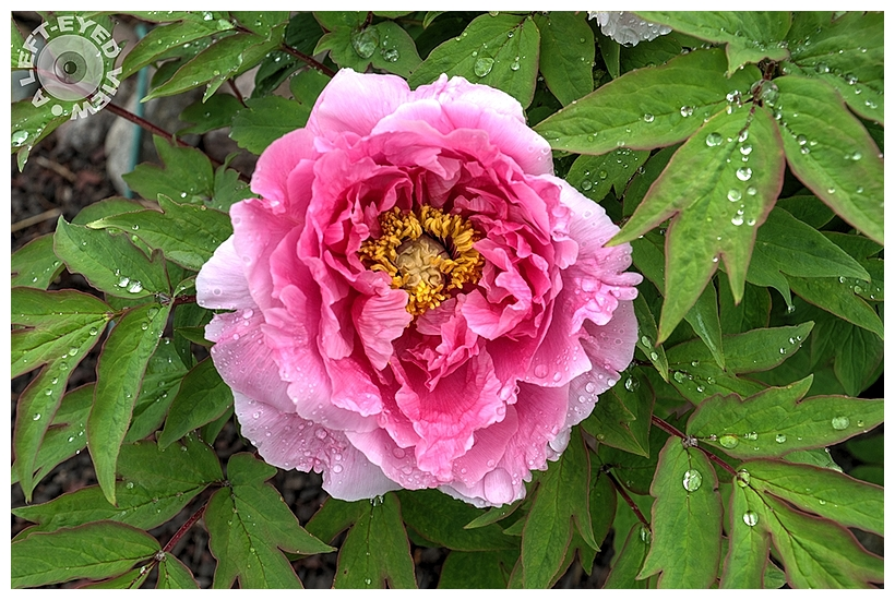 """""""A Left-Eyed View"""", Sabourin, Intersectional Peony"""