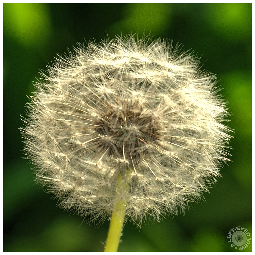 """A Left-Eyed View"", Sabourin, Dandelion Puffball"