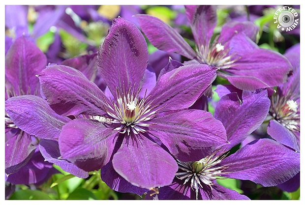 Clematis Bunch