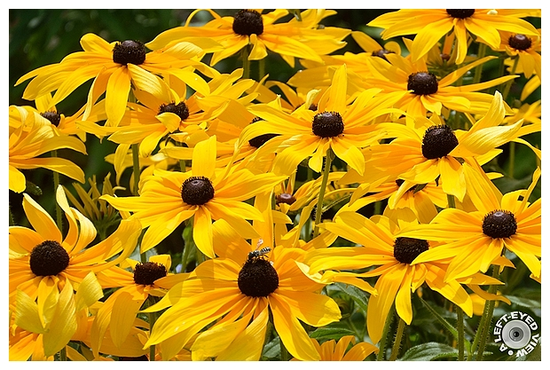 "Brown-Eyed Susan, Sabourin, ""A Left-Eyed View"""