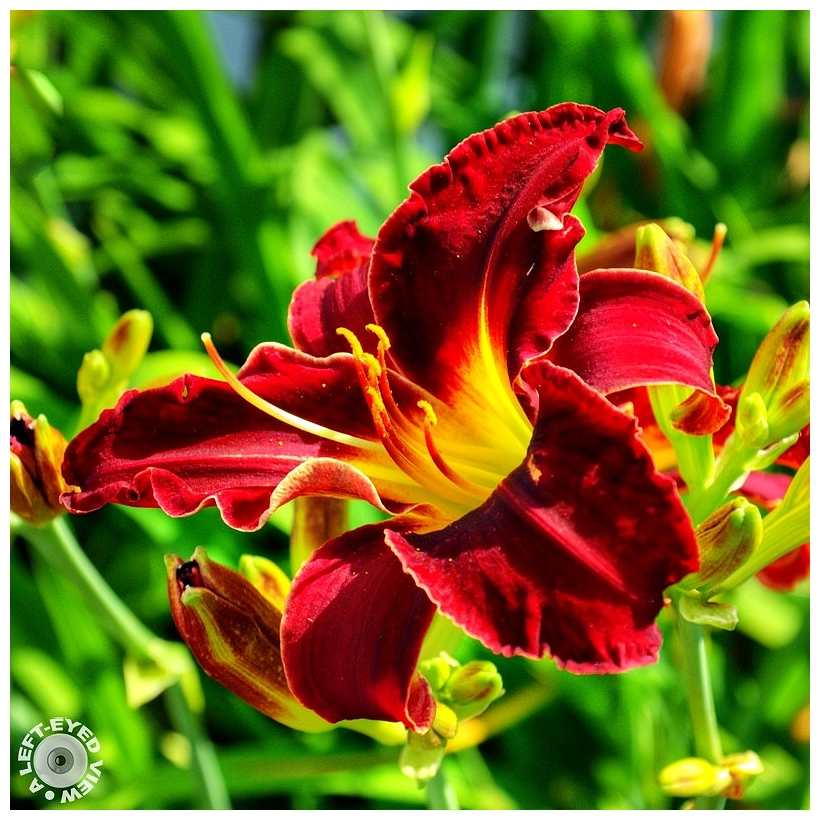 "Red Volunteer Daylily, ""A Left-Eyed View"""
