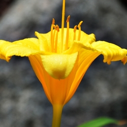 """""""A Left-Eyed View"""", Sabourin, Daylily"""
