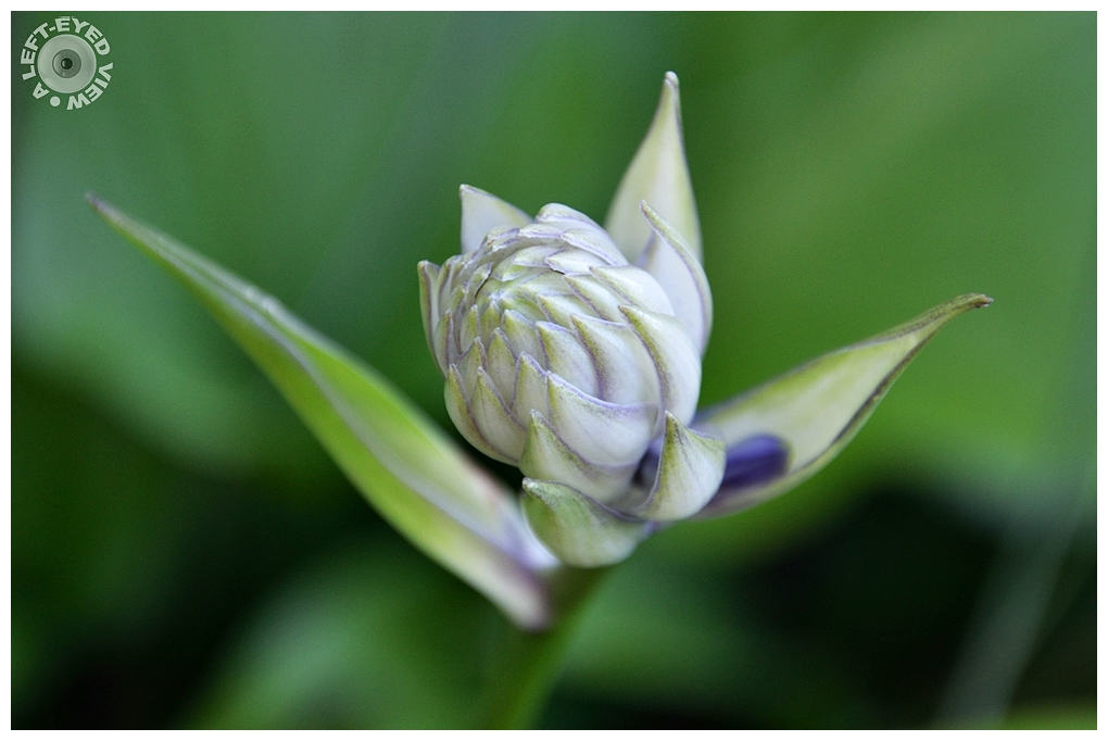 """A Left-Eyed View"", Sabourin, Hosta Bud"