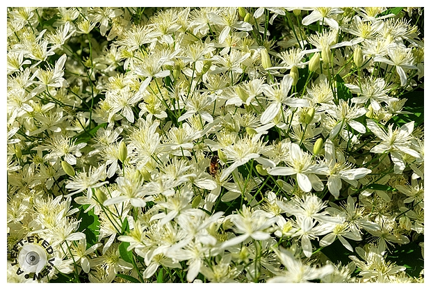 Sweet Autumn Clematis #2