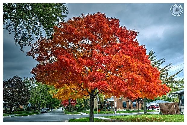 Maple Tree Aglow