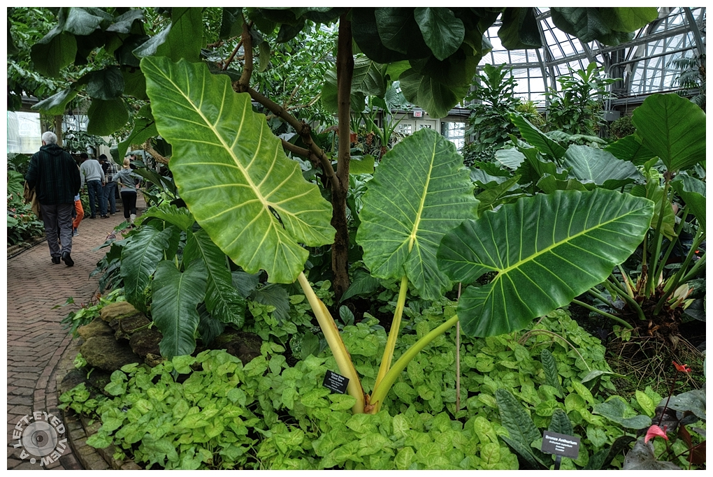 """A Left-Eyed View"", ""Yellow Stem Giant Taro"""