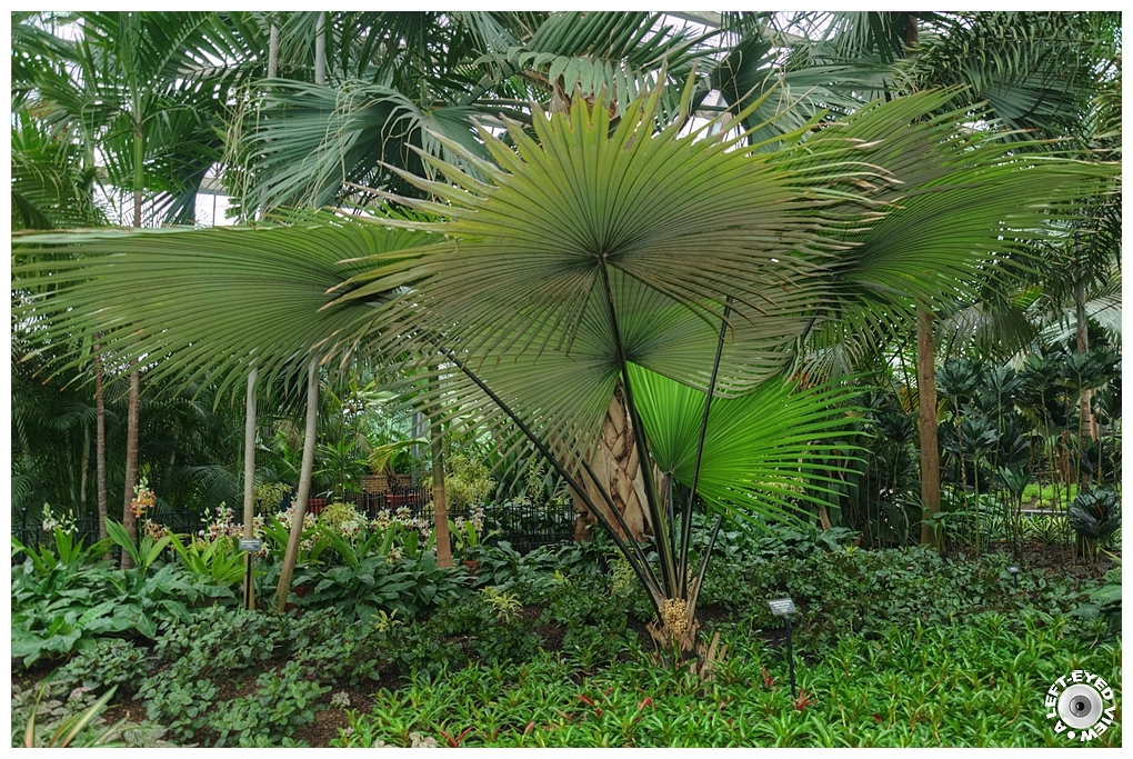 """""""A Left-Eyed View"""", Sabourin, White Elephant Palm"""