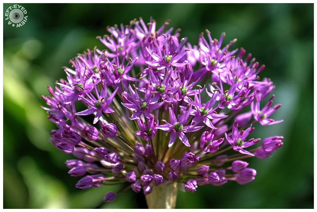 """A Left-Eyed View"", ""Purple Onion Flower"", Allium"