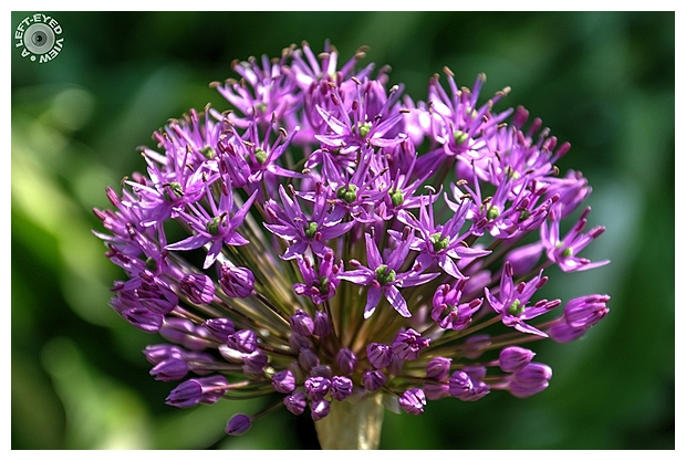 """A Left-Eyed View"", ""Purple Onion Flower"", Allium"