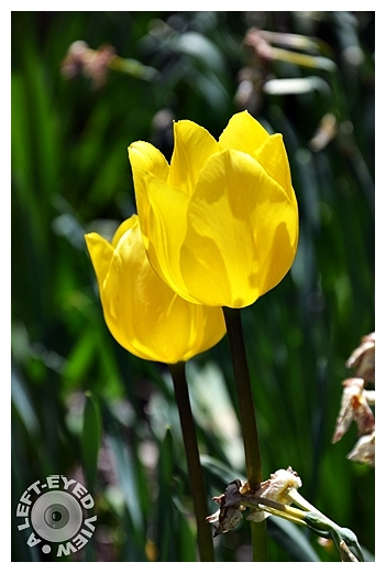 """""""A Left-Eyed View"""", Sabourin, Yellow Tulip"""