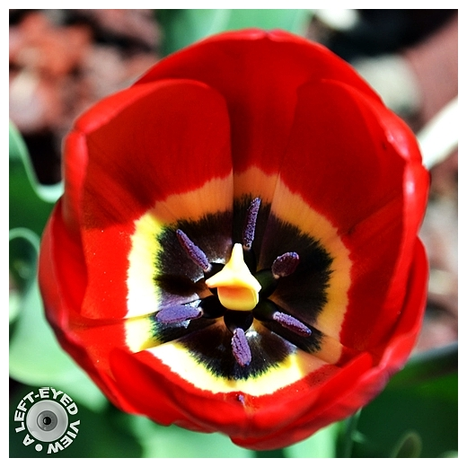 """""""A Left-Eyed View"""", Sabourin, Tulip"""