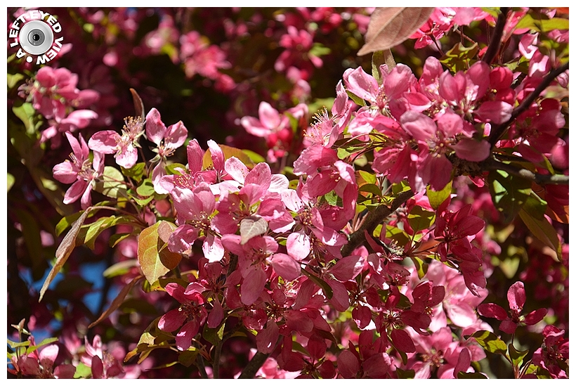 """""""A Left-Eyed View"""", Sabourin, Crabapple Blossoms"""