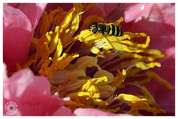"""A Left-Eyed View"", Sabourin, Peony, Bee"