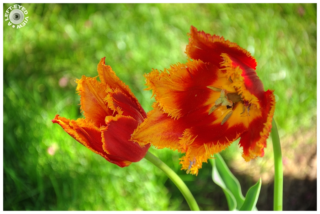 """A Left-Eyed View"", Sabourin, ""Fringed Tulip"""